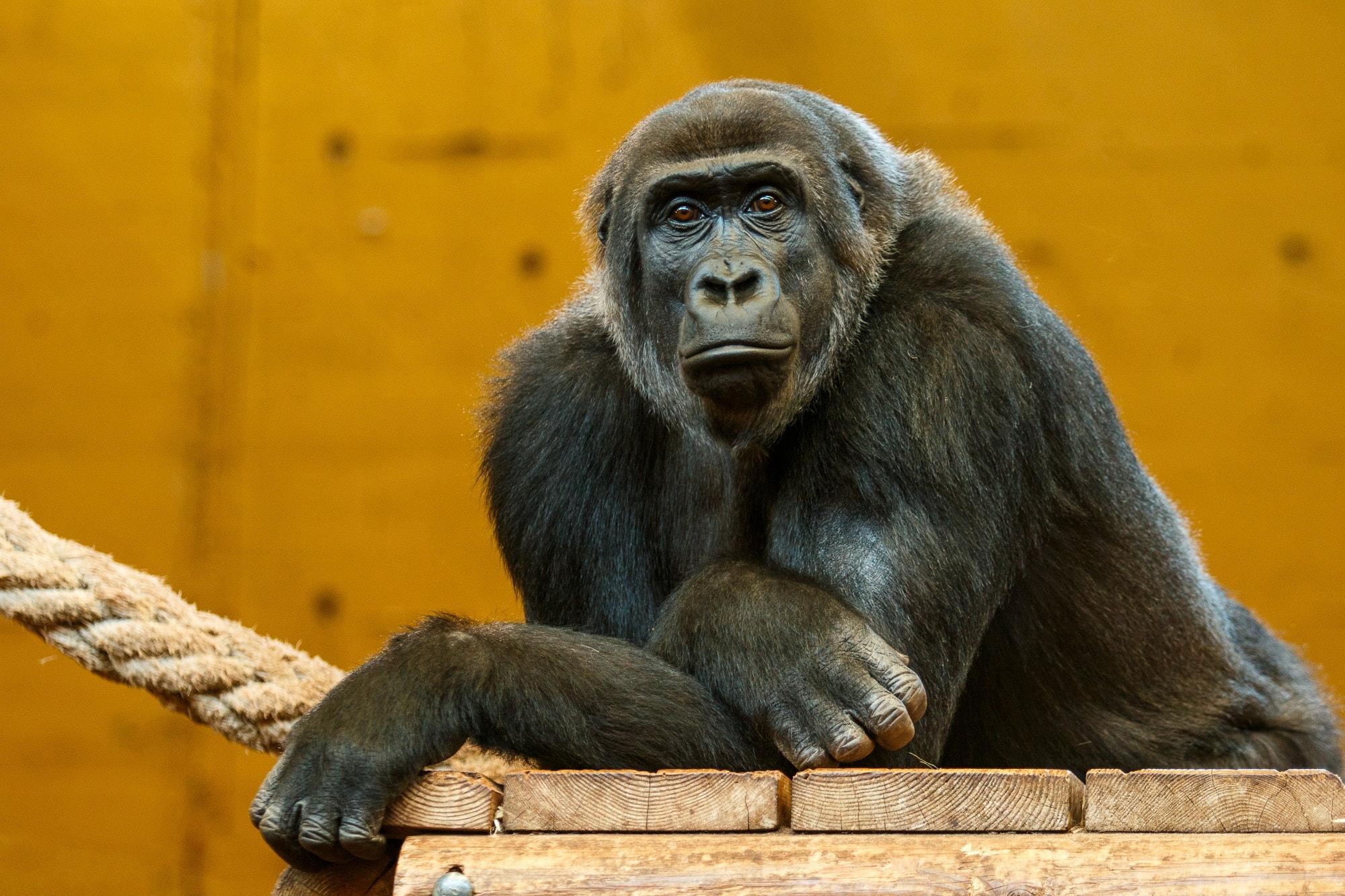 macaco no zoo de Cabarceno.