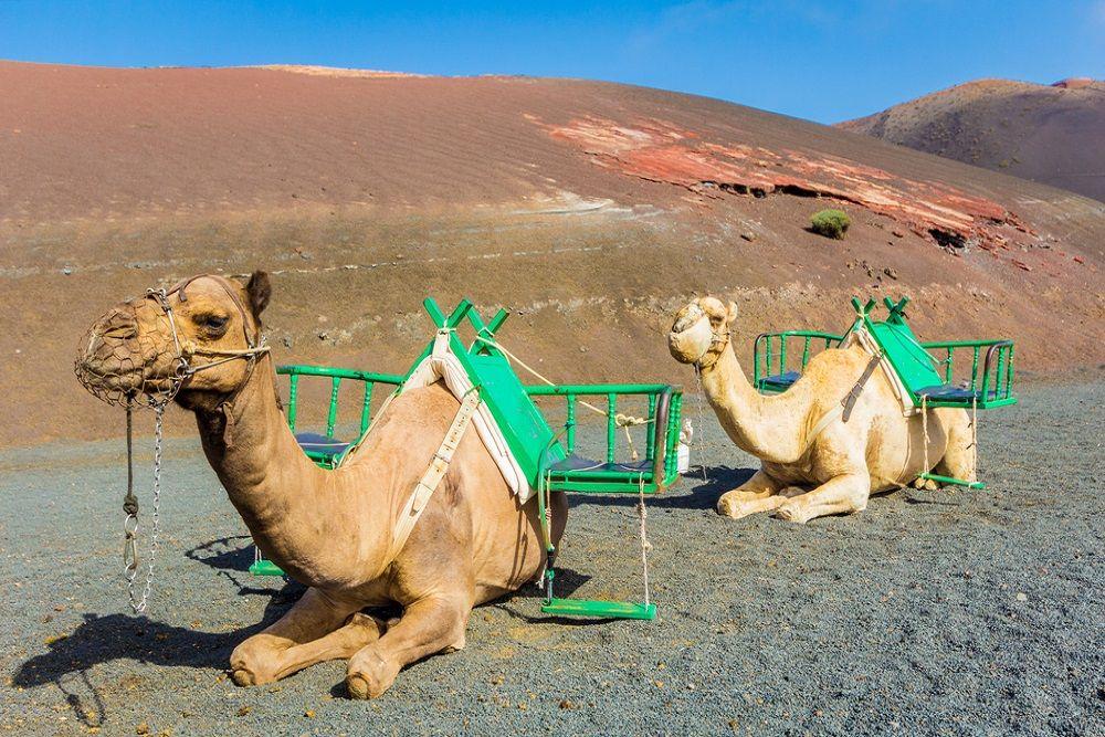 Passeio de Camelo em Lanzarote - Living Tours