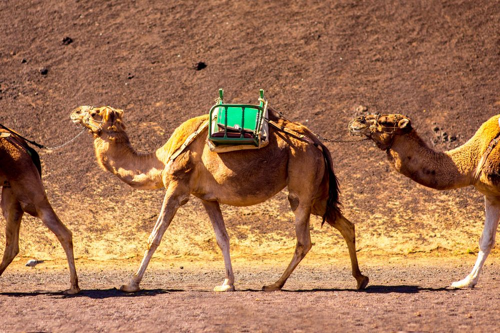 Camel ride in Lanzarote - Living Tour