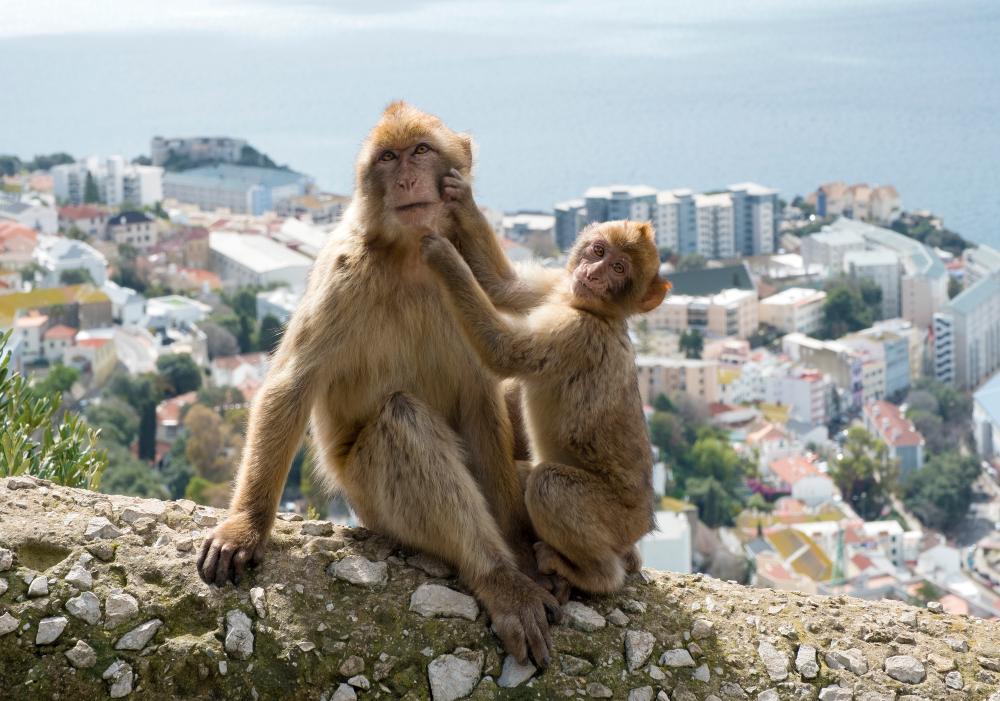 Monkeys in Gibraltar - Living Tours