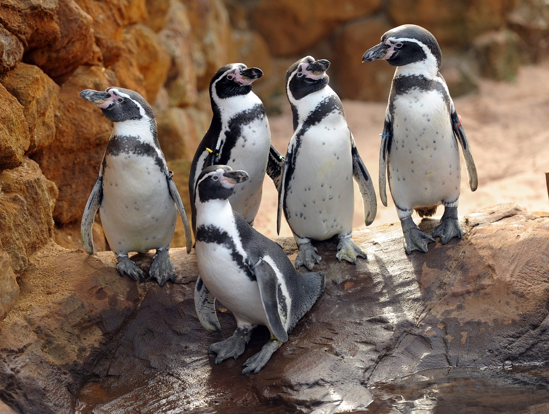 Penguins at Sea Life - Living Tours