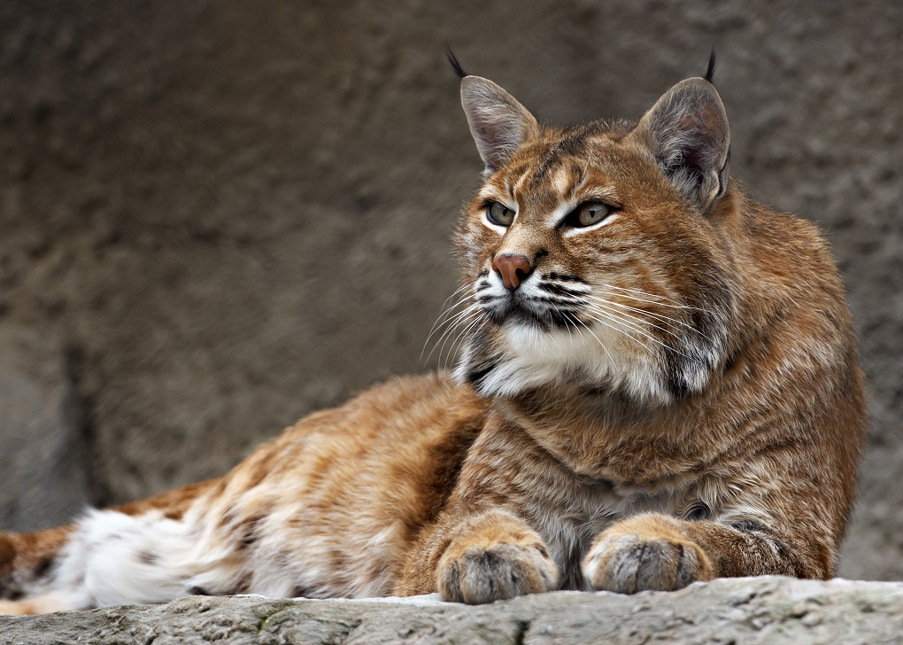 Doñana Park tour iberian lynx