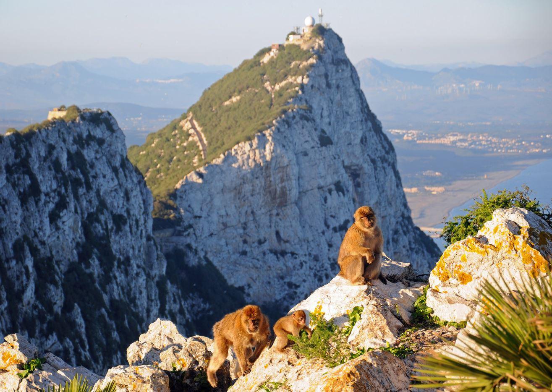 Gibraltar, Barbary Macaque